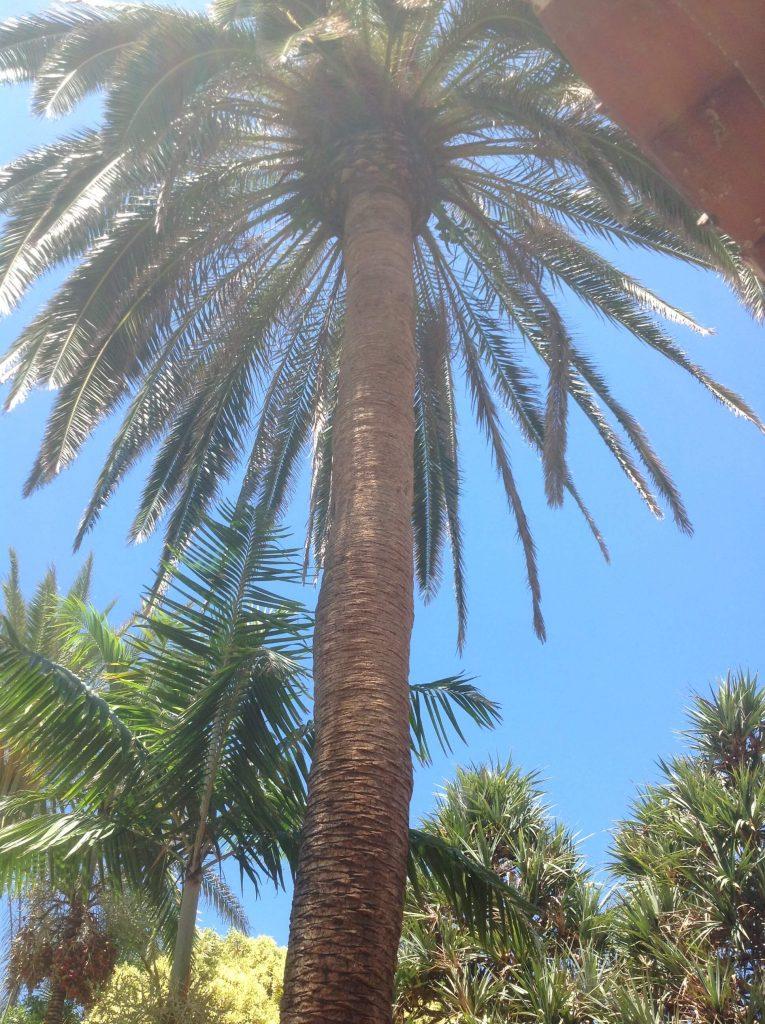 tenerife-palm-tree