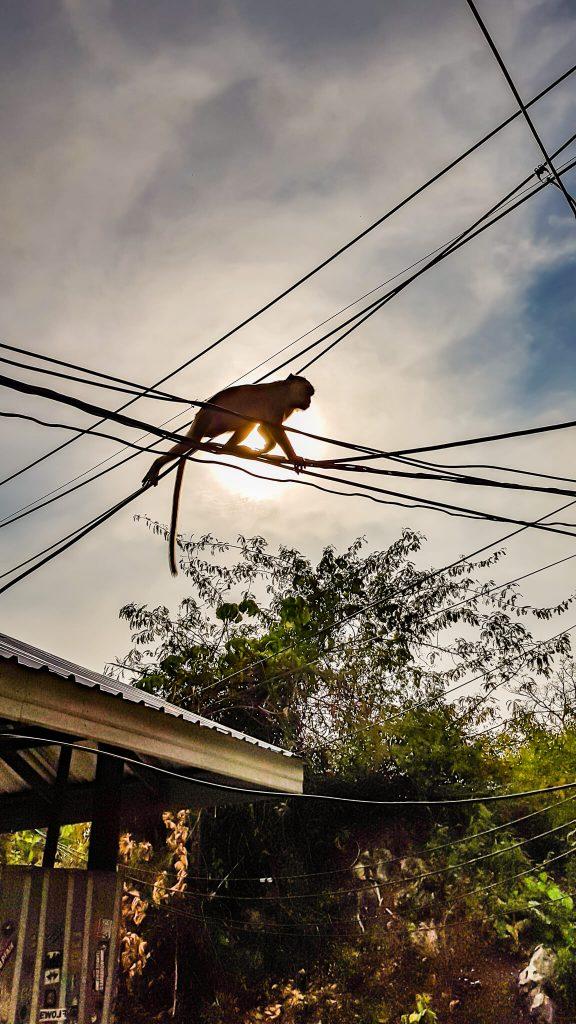 monkey-krabi